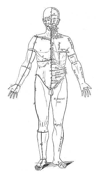 human anatomy scientific illustrations: skin cuts for dissection - autopsy stock illustrations, clip art, cartoons, & icons