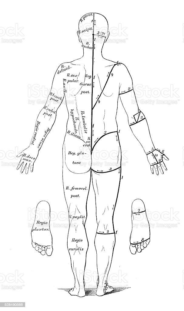 Human anatomy scientific illustrations: skin cuts for dissection vector art illustration