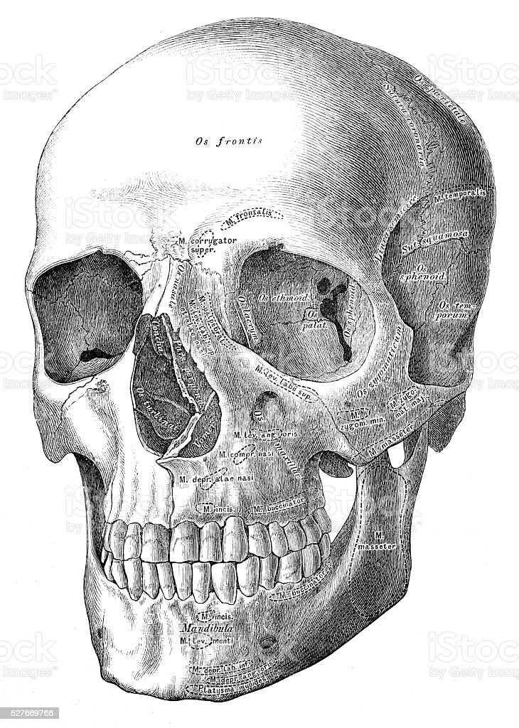 Ilustración de Ilustraciones Científicas De Anatomía Humana Cráneo y ...