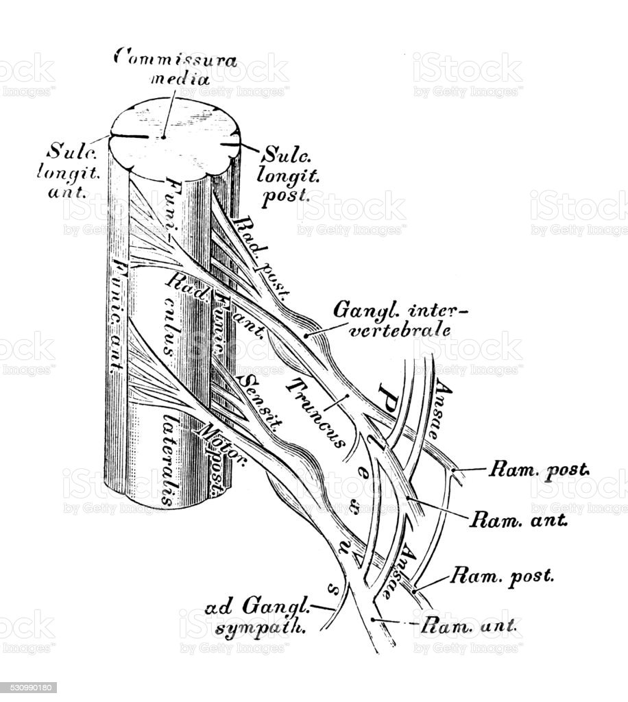 Anatomie Des Menschen Wissenschaftliche Illustrationen Spinalnerven ...