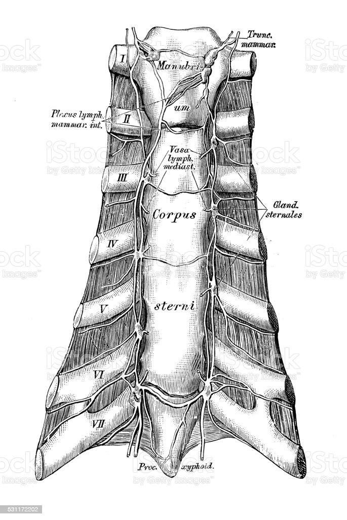 Ilustración de Ilustraciones Científicas De Anatomía Humana Esternón ...