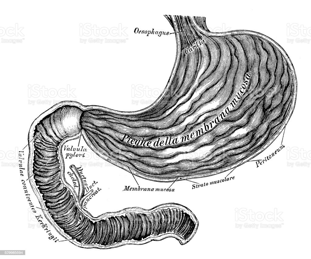 Human Anatomy Scientific Illustrations Stomach And Duodenum ...
