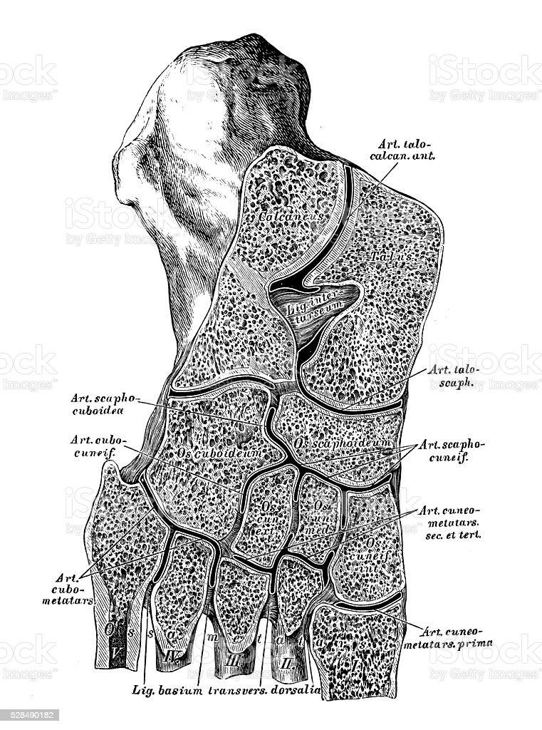 Anatomie Des Menschen Wissenschaftliche Illustrationen Fußwurzel ...