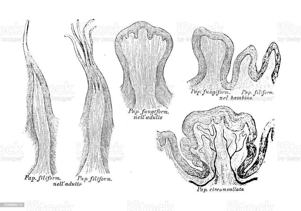 Human Anatomy Scientific Illustrations Taste Bud stock vector art ...