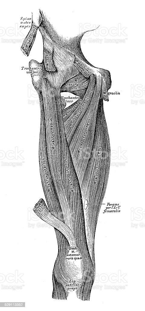 Ilustración de Ilustraciones Científicas De Anatomía Humana Muslo ...