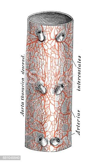 Ilustraciones Científicas De Anatomía Humana Aorta Torácica - Arte ...