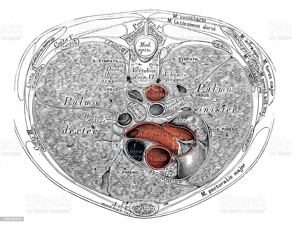 Ilustraciones Científicas De Anatomía Humana Los órganos Tórax ...