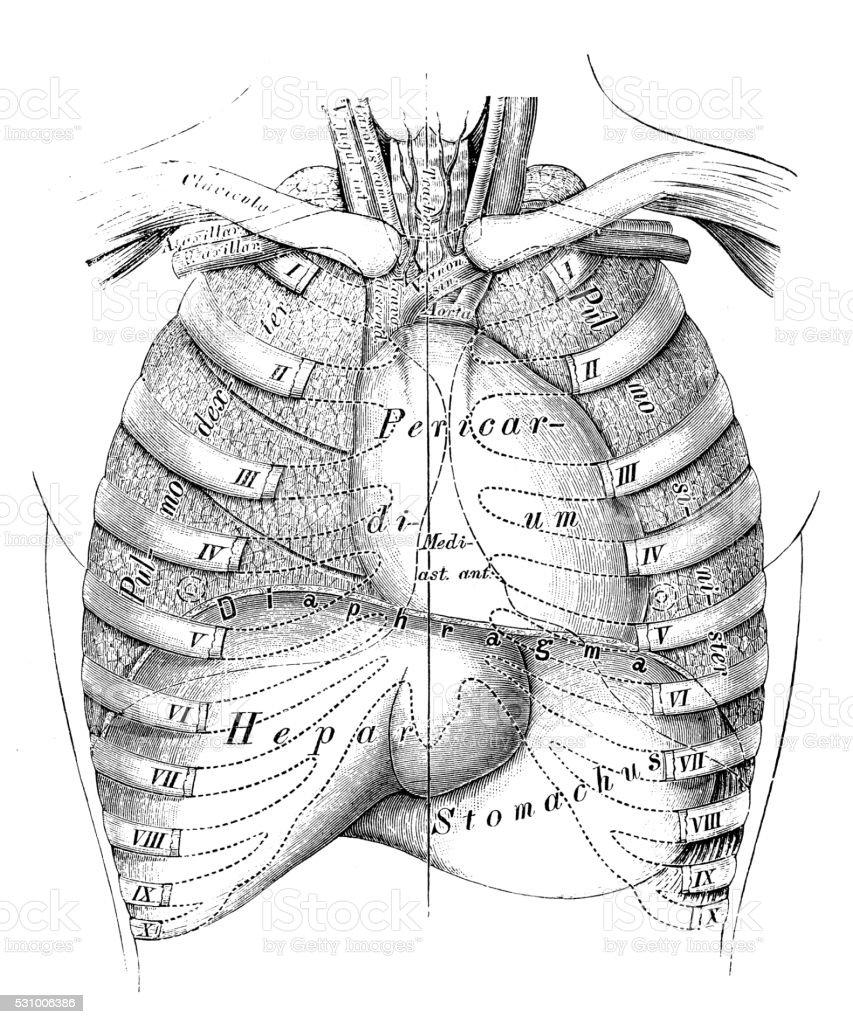 Anatomie Des Menschen Wissenschaftliche Illustrationen Thorax Organe ...