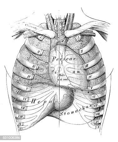 Human Anatomy Scientific Illustrations Thorax Organs Stock Vector