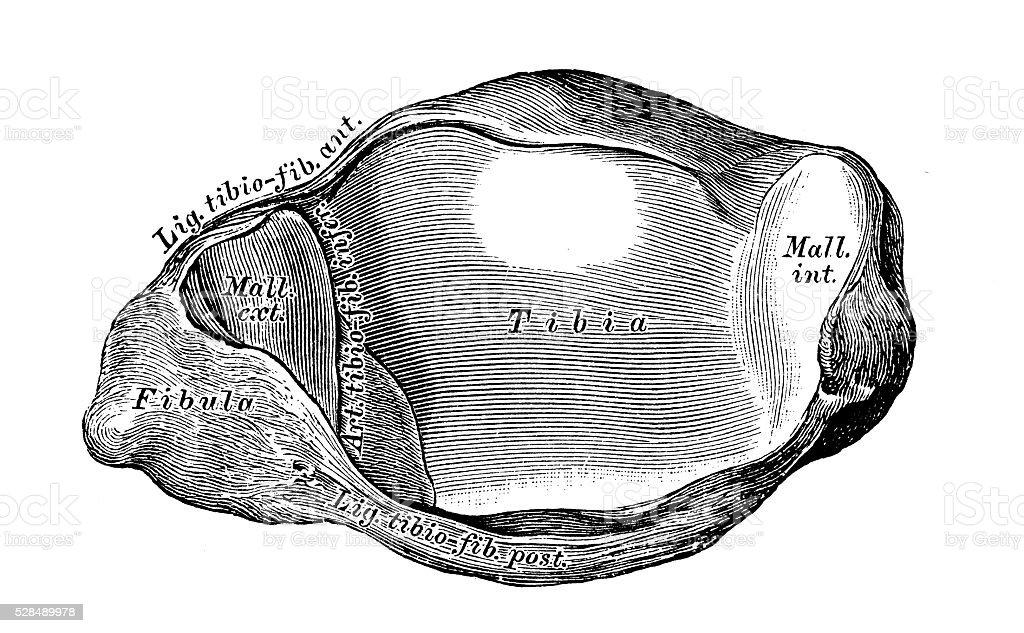 Ilustración de Ilustraciones Científicas De Anatomía Humana Conjunto ...