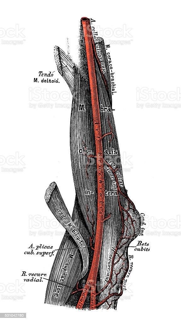 Ilustraciones Científicas De Anatomía Humana Arteria Colateral Del ...