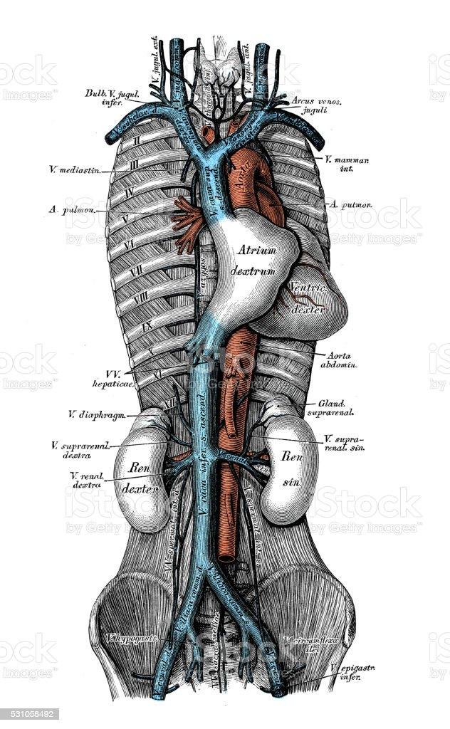 Ilustraciones Científicas De Anatomía Humana Venas Cavas - Arte ...