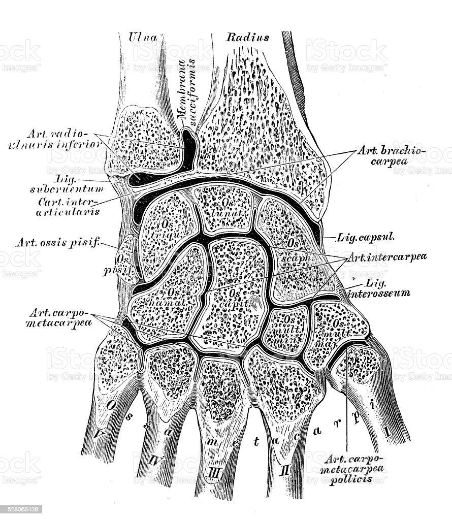 Anatomie Des Menschen Wissenschaftliche Illustrationen Handgelenk ...