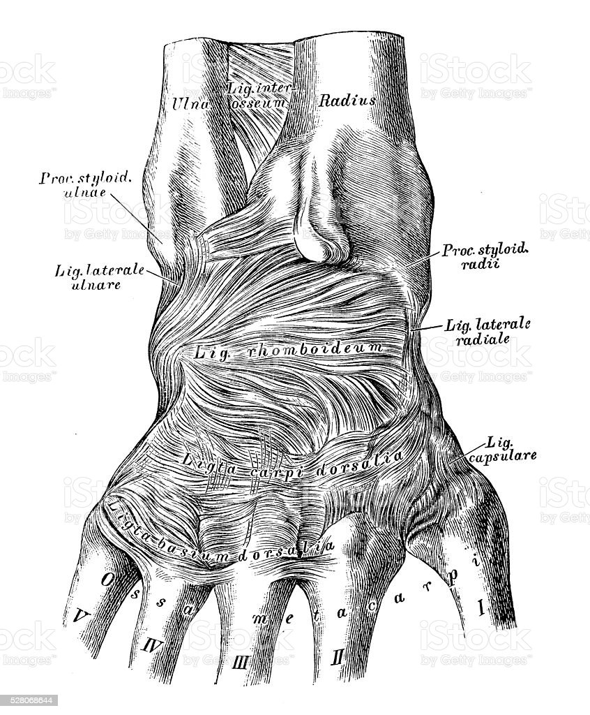 Human Anatomy Scientific Illustrations Wrist Joint Ligament Stock