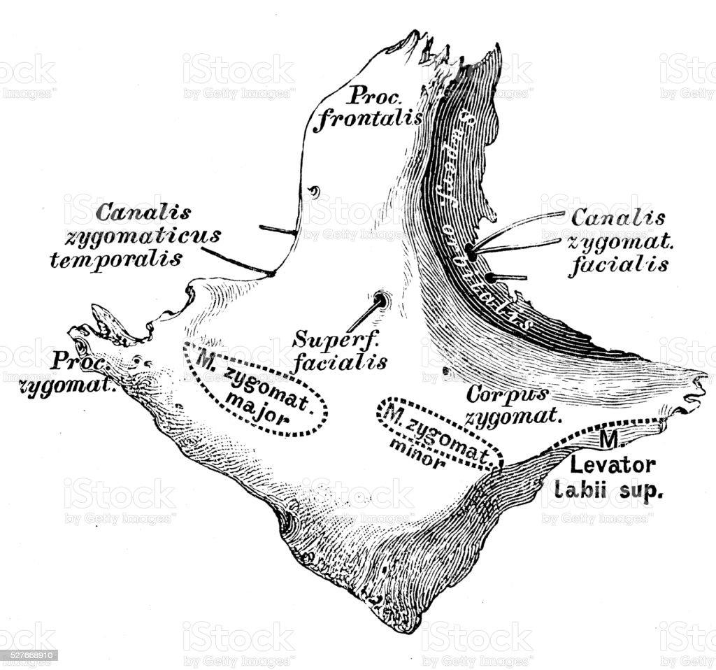 Human Anatomy Scientific Illustrations Zygomatic Bone Stock Vector ...