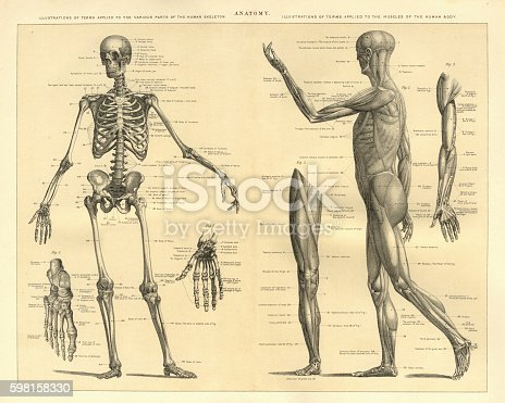 Vintage engraving of Human Anatomy, the bones of the skeleton and muscles of the body, 1898