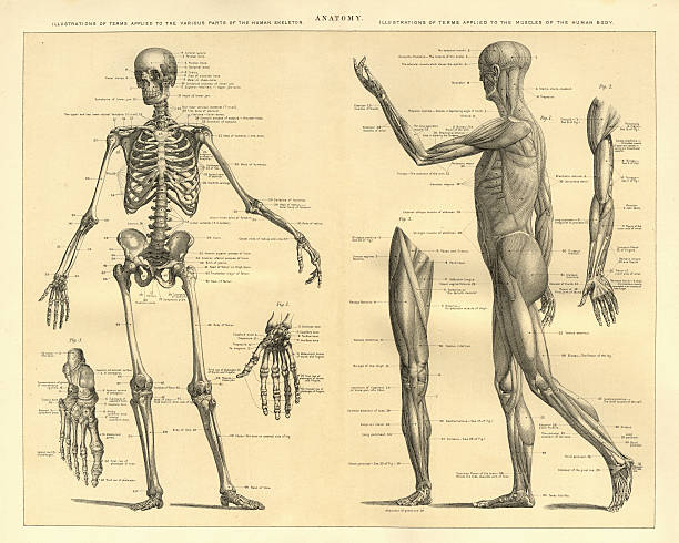 Human Anatomy Skeleton and muscles of the body Vintage engraving of Human Anatomy, the bones of the skeleton and muscles of the body, 1898 biomedical illustration stock illustrations
