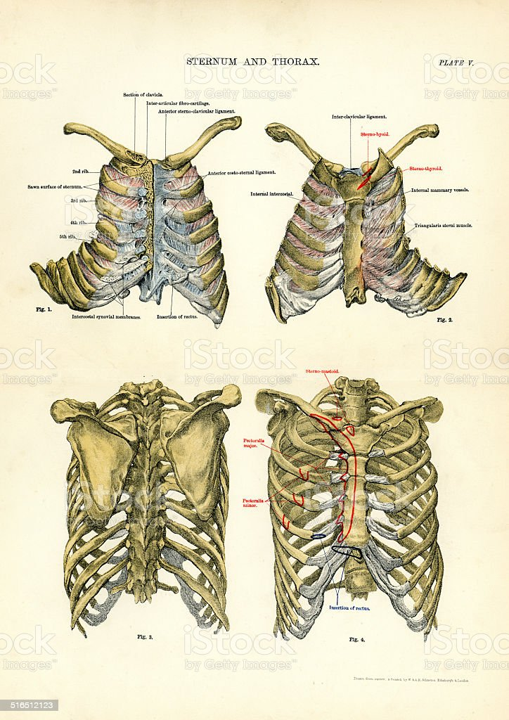 Human Anatomy - Sternum and Thorax vector art illustration