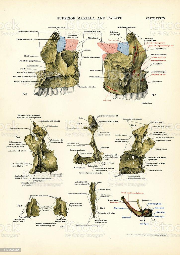 Ilustración de Anatomía Humana Maxilar Superior Y El Paladar y más ...