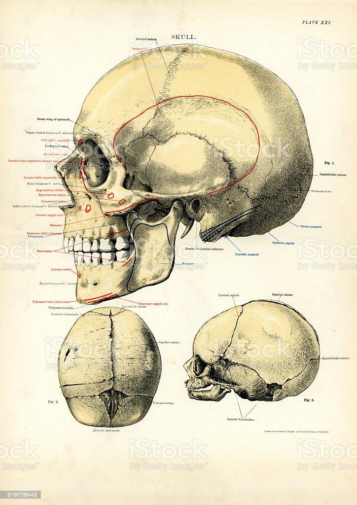 Human Anatomy - The Skull vector art illustration