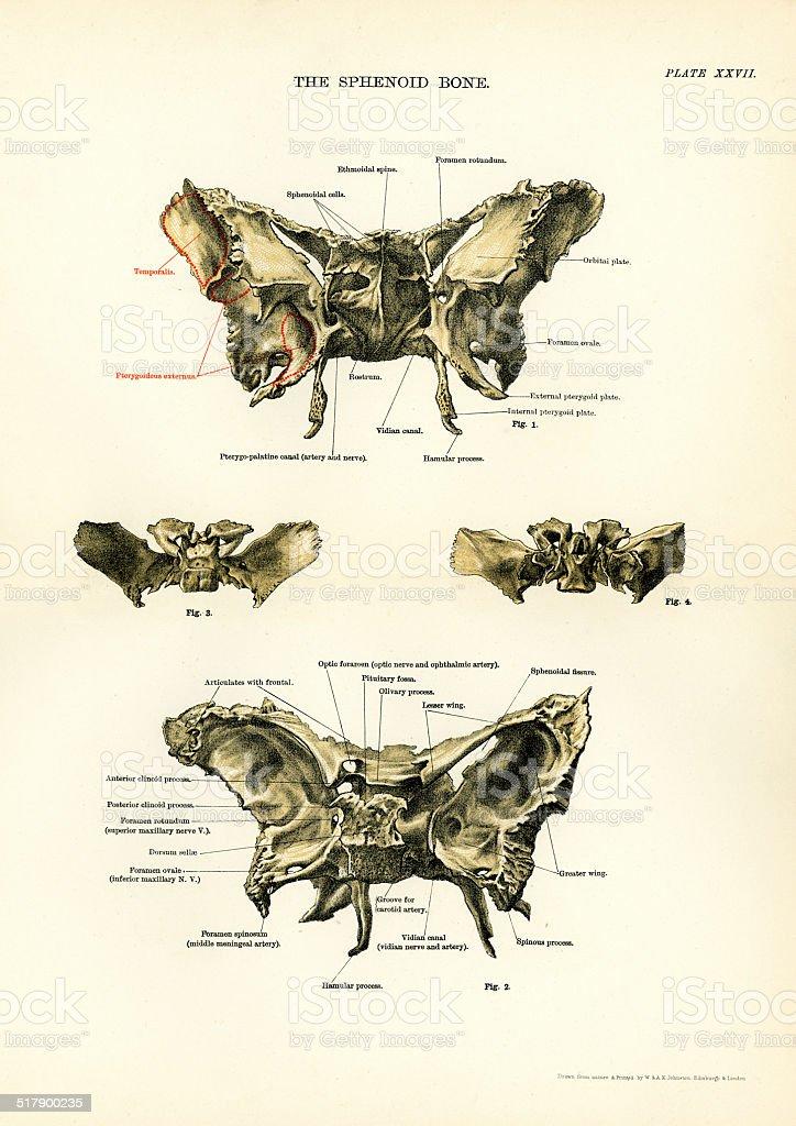 Human Anatomy - The Sphenoid Bone vector art illustration