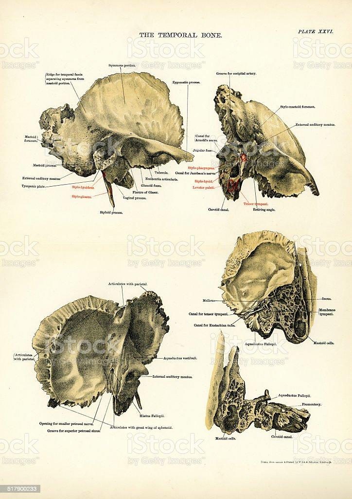 Ilustración de Anatomía Humana El Hueso Temporal y más banco de ...