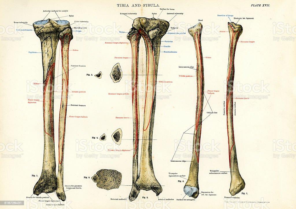 Human Anatomy - Tibia and Fibula vector art illustration