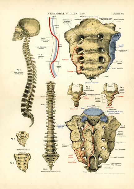 Human Anatomy - Vertebral column Victorian print of the human vertebral column, 19th Century medical diagrams stock illustrations