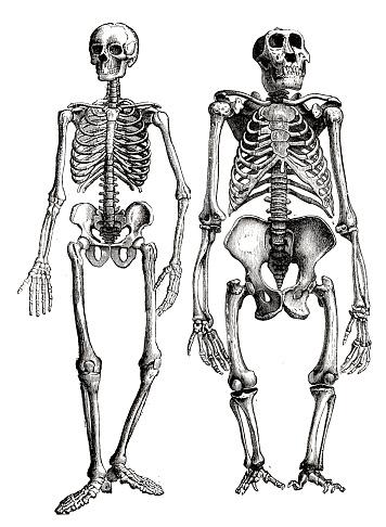 Esqueleto humano y gorila, comparación lado a lado