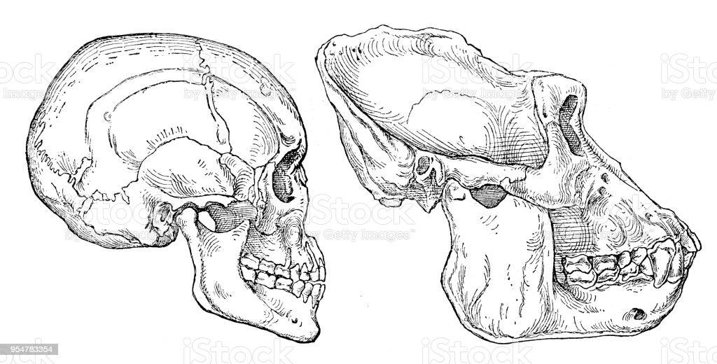 Human And Gorilla Skull Engraving 1894 Stock Vector Art & More ...