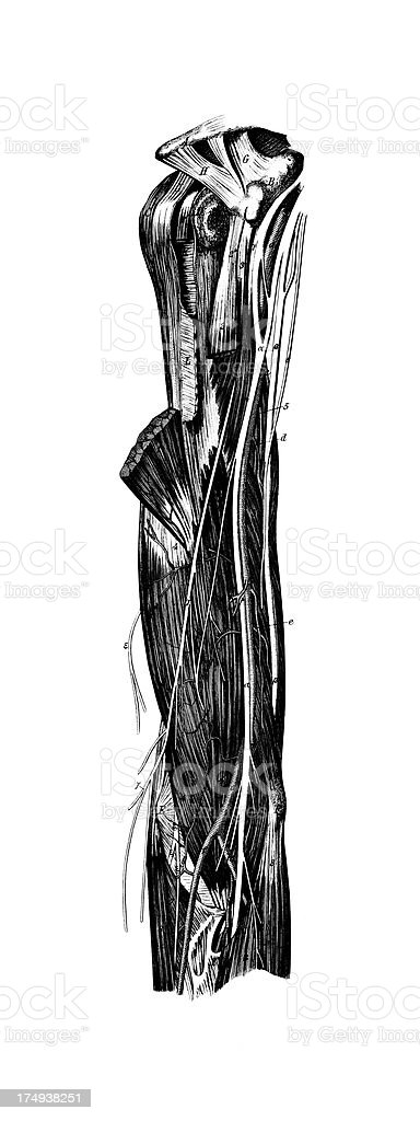 Human Arm Muscles | Antique Medical Scientific Illustrations and Charts royalty-free stock vector art