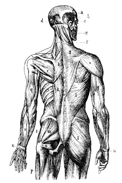 Human back Muscles Illustration of a Human Muscles biomedical illustration stock illustrations