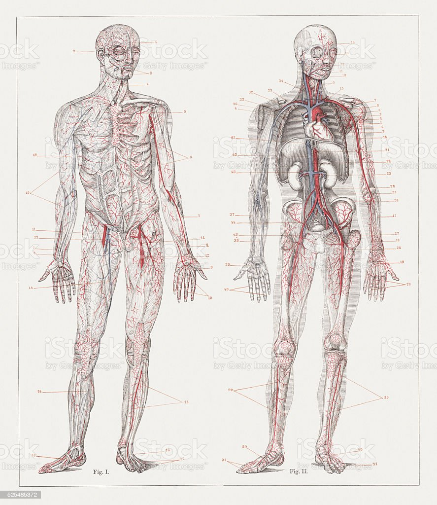Human blood circulation, lithograph, published in 1882 vector art illustration