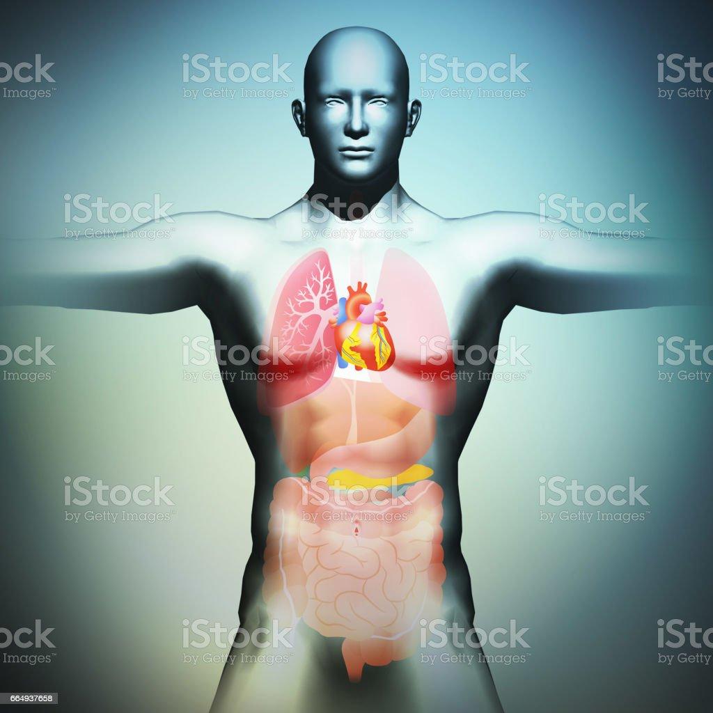 human body and organs, 3D illustration vector art illustration