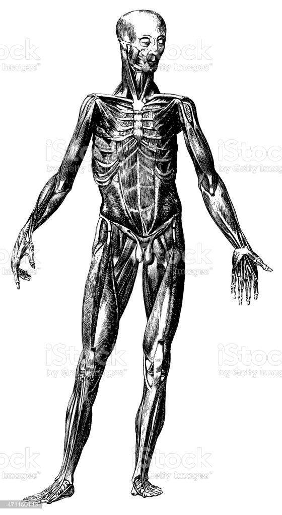 Human body  - Antique Medical Illustration royalty-free stock vector art