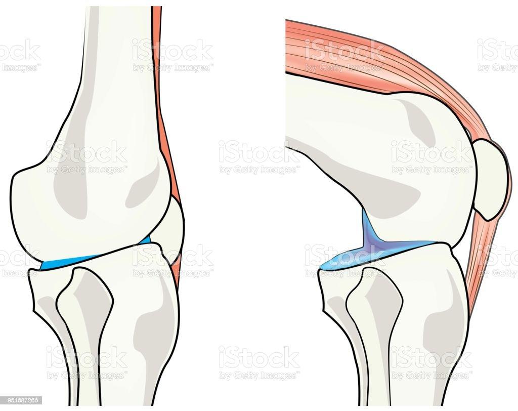 Menschlichen Körpers Knie Gelenkmechanik Stock Vektor Art und mehr ...
