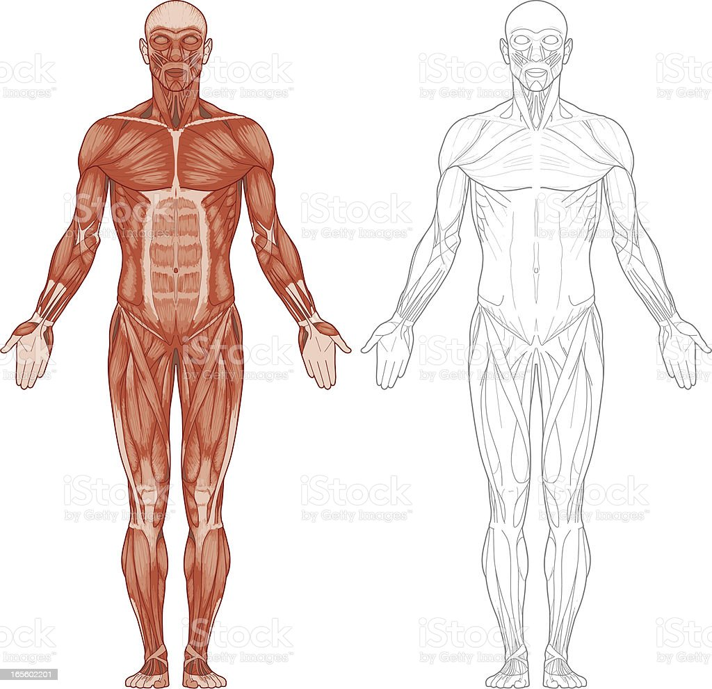 Human body, muscles vector art illustration
