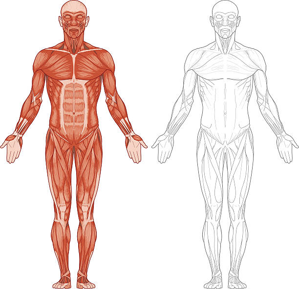 stockillustraties, clipart, cartoons en iconen met human body, muscles - lichaamsdeel