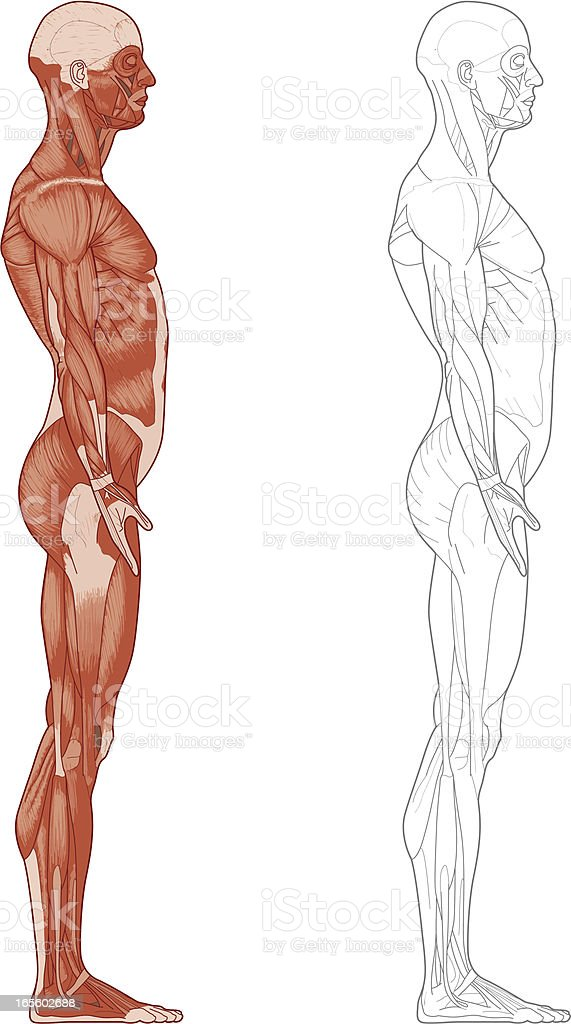 Human body, muscles royalty-free stock vector art