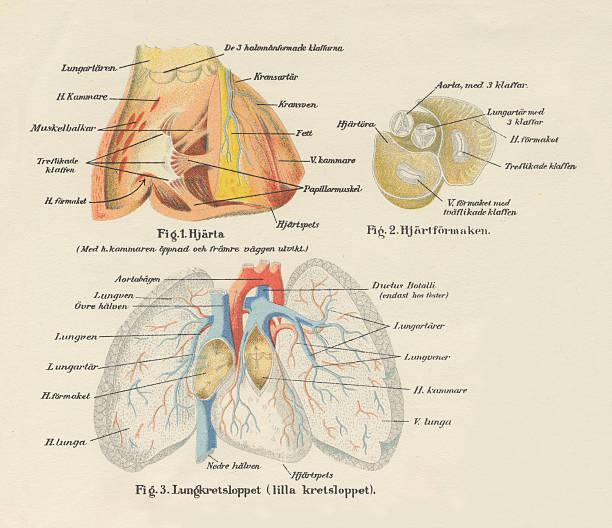 Vectores de Cuerpo Humano Sistema Nervioso Y Del Flujo Sanguíneo ...