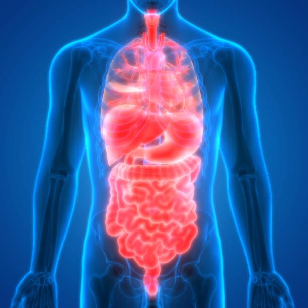 Human Body Organs Anatomy vector art illustration