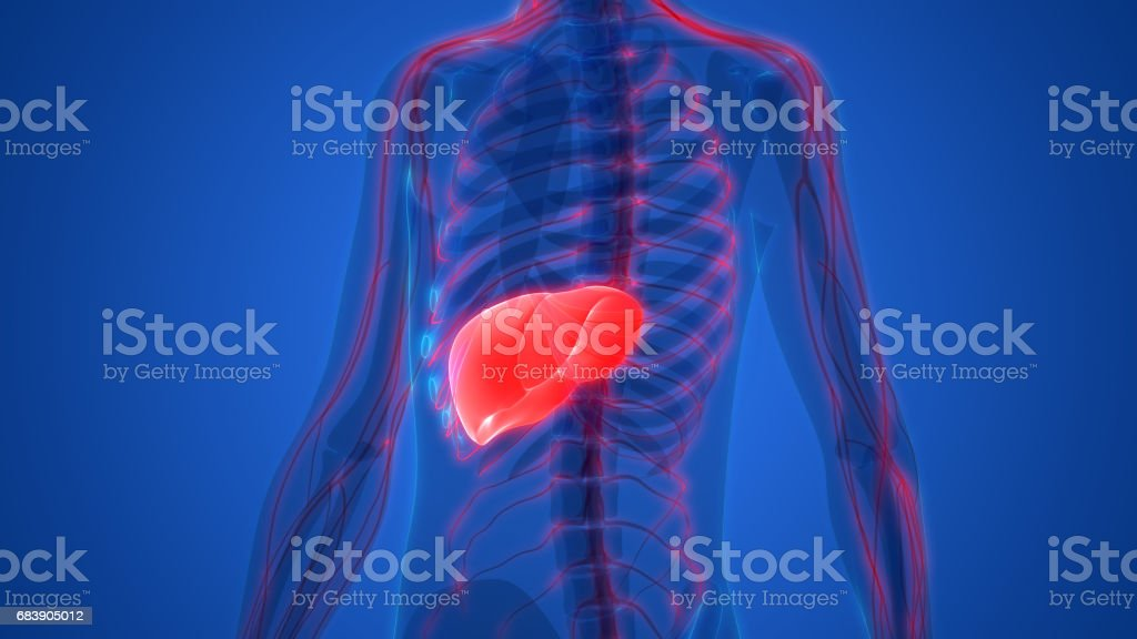 Human Body Organs Anatomy (Liver with nervous system) vector art illustration