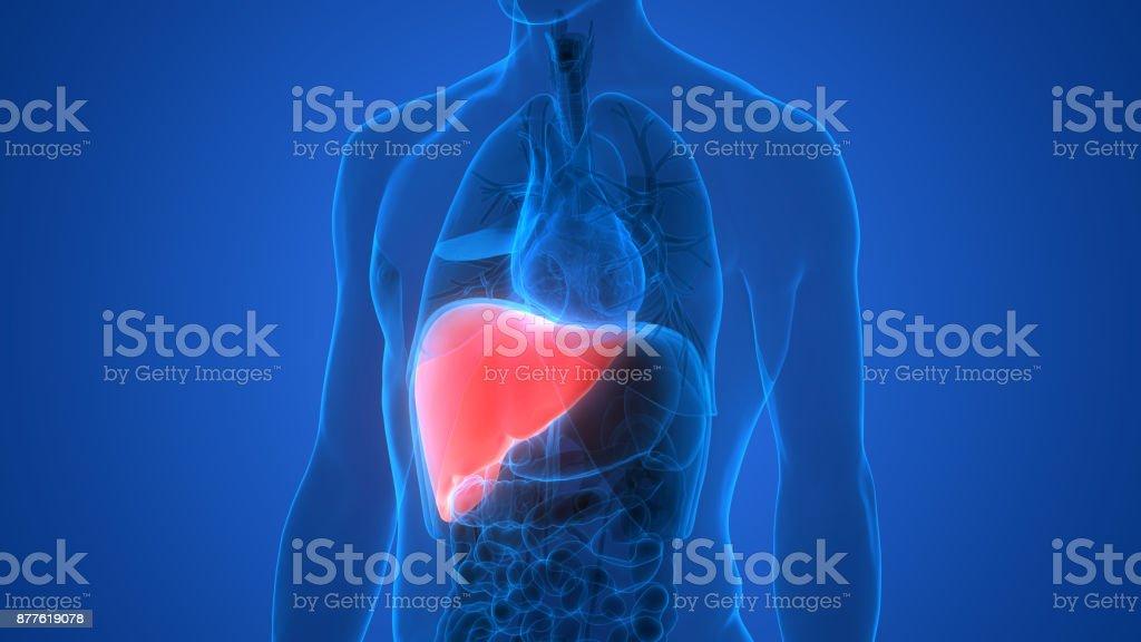Anatomía De Los órganos Del Cuerpo Humano Illustracion Libre de ...