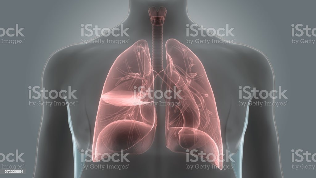 Human Body Organs (Lungs Anatomy) vector art illustration