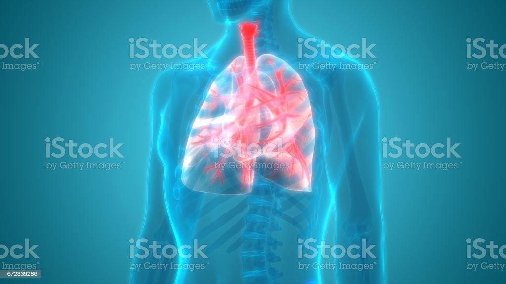 Human Body Organs Stock Vektor Art und mehr Bilder von Abstrakt ...