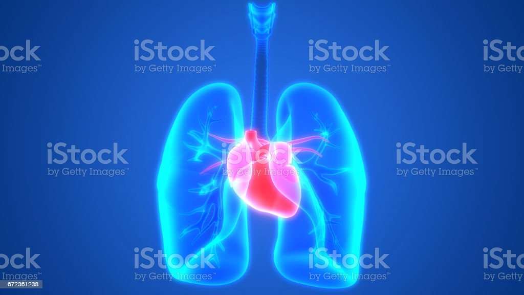 Human Body Organs (Lungs with Heart Anatomy) vector art illustration