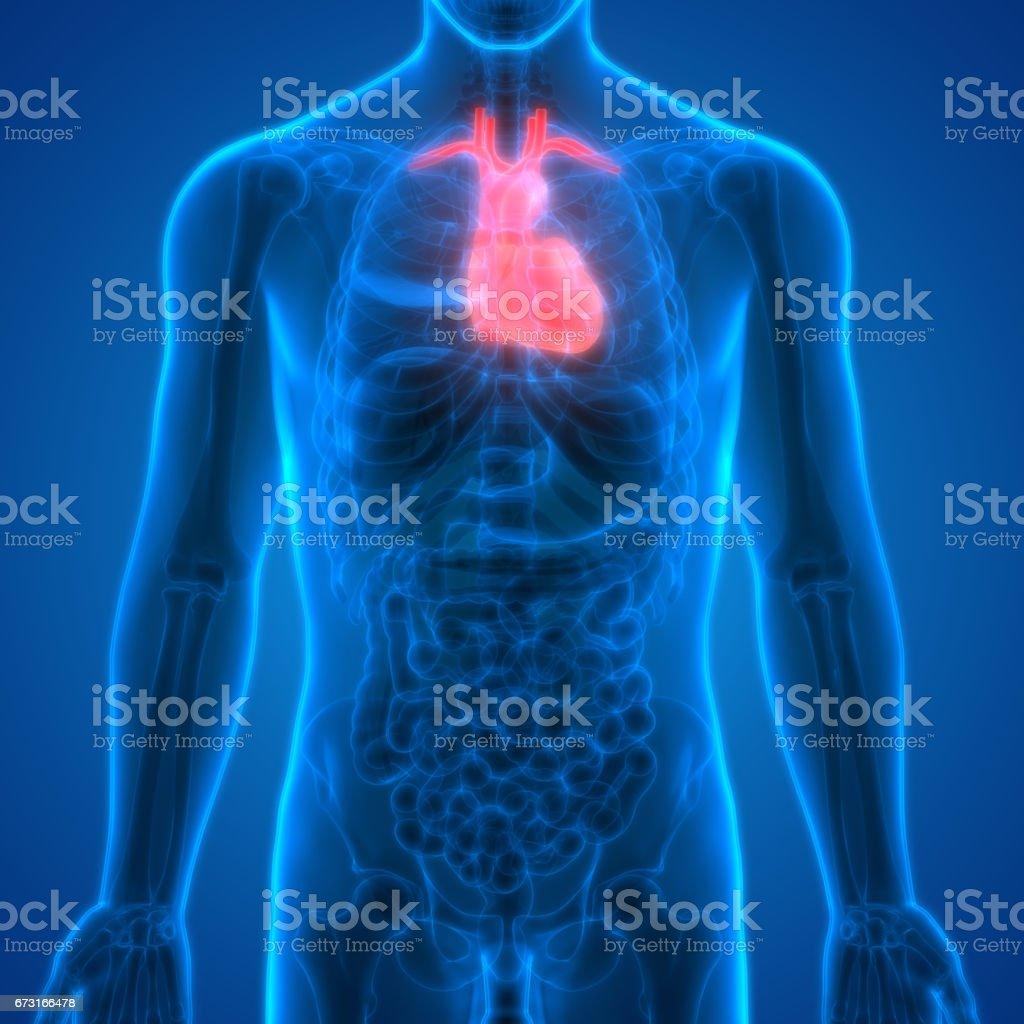 Human Body Organs (Heart Anatomy) vector art illustration