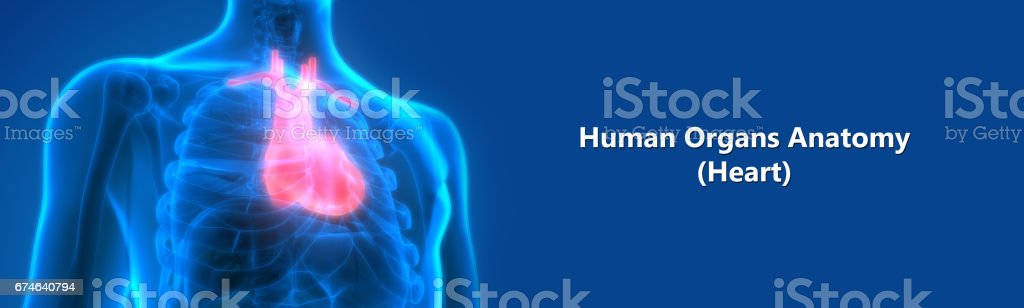Human Body Organs (Heart Anatomy) vector art illustration