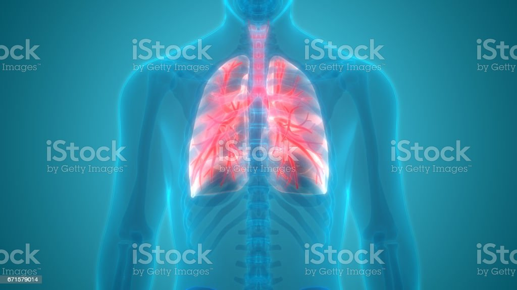 Human Body Organs (Lungs Anatomy) Posterior view vector art illustration