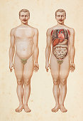 Human body with inner organs illustration